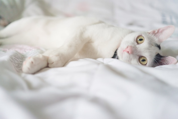 Cute white cat lying in bed. fluffy pet is gazing curiously. stray kitten sleep on bed.