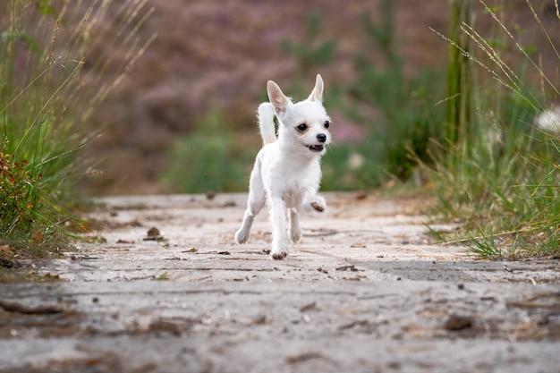 Милый белый чихуахуа бежит по дороге