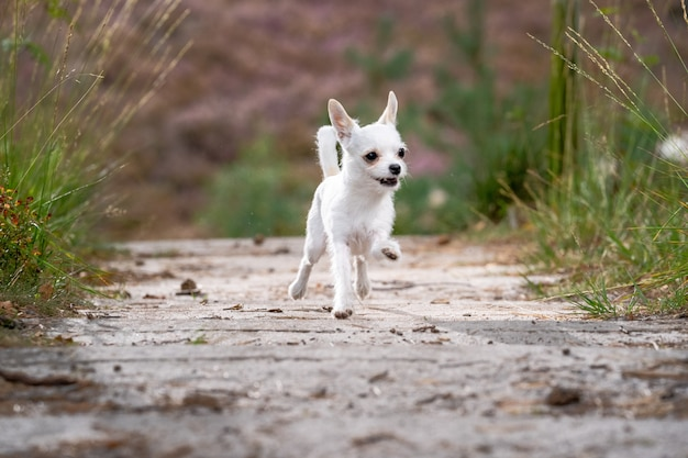 Cute white chihuahua running on the road
