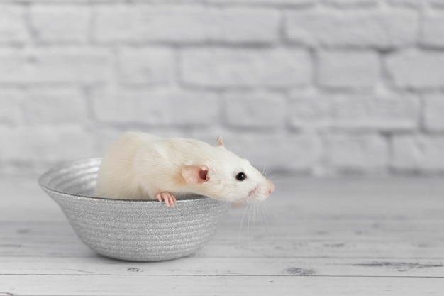 A cute white decorative rat sits on a gray plate. close-up portrait of a rodent on a white background.