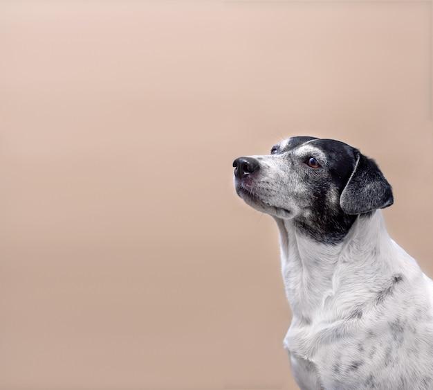 明るい無地の背景に黒い斑点のあるかわいい白い犬