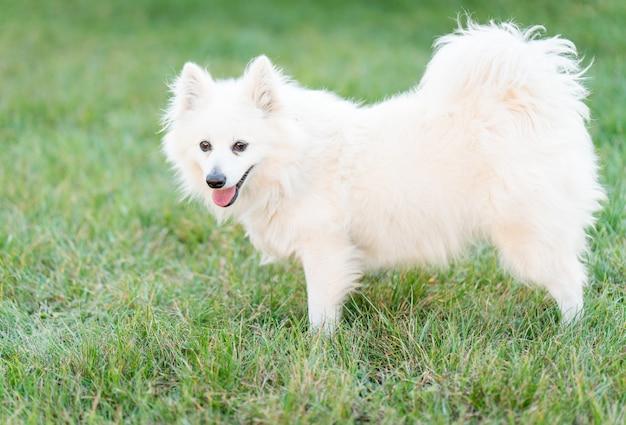 Cute white dog on yard grass