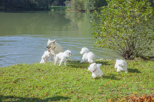 Cute white dogs playing in a park