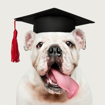 Cute white english bulldog puppy in a graduation cap