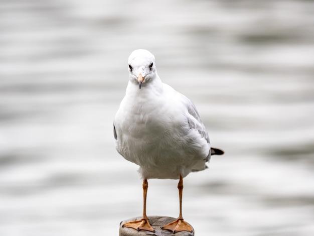 Милая белая европейская сельдевая чайка посреди озера