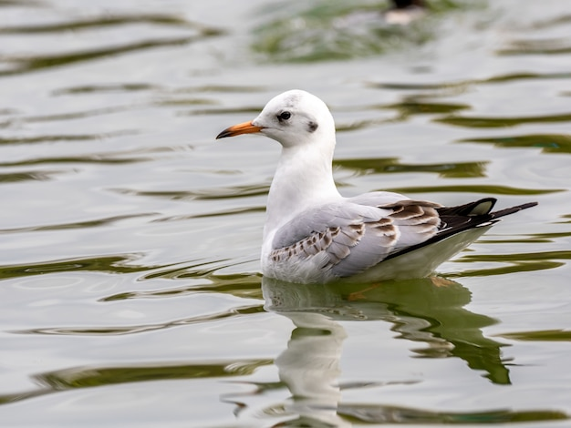 Cute white european herring gull in the middle of the lake