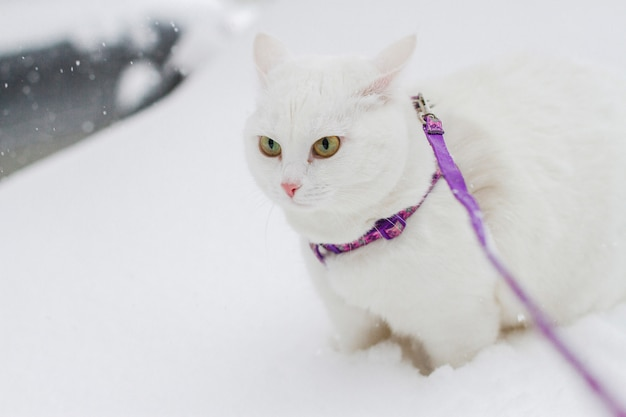 Cute white fluffy cat walks in the snow in nature