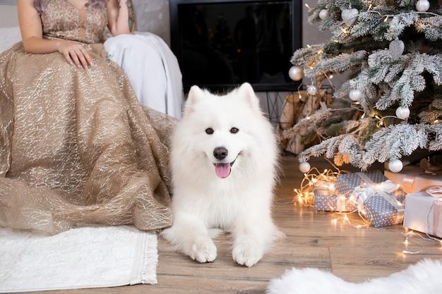 かわいい白いふわふわサモエド犬は、装飾されたクリスマスツリーの近くに家に座っています