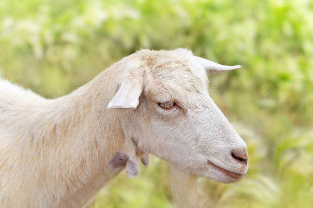 Cute white goat portrait close up on blurred grass background.