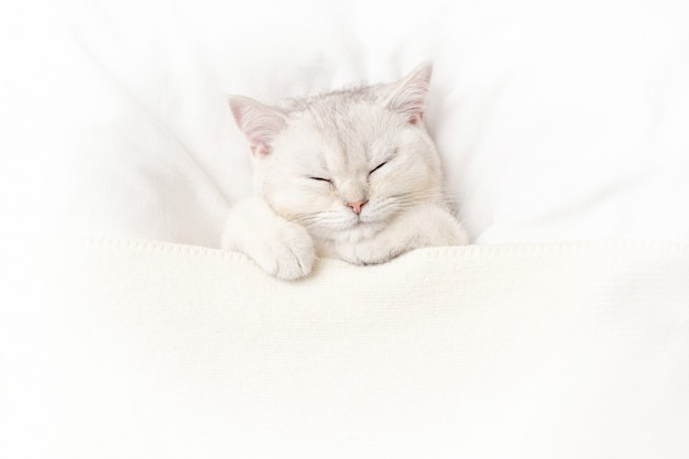 A cute white kitten sleeps on a white bed under a knitted blanket. view from above. copy space.