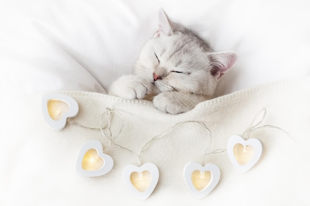 A cute white kitten sleeps on a white bed under a knitted blanket with glowing garlands in the form of hearts. top view. copy space