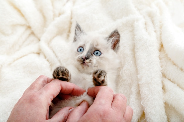 Cute white kitten with blue eyes and spotted nose lies play with human hands on white fluffy blanket. newborn kitten baby cat kid domestic animal. home pet. cozy home winter.