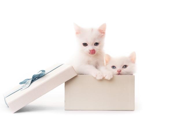흰색 배경에 고립 된 선물 상자에 귀여운 흰 고양이