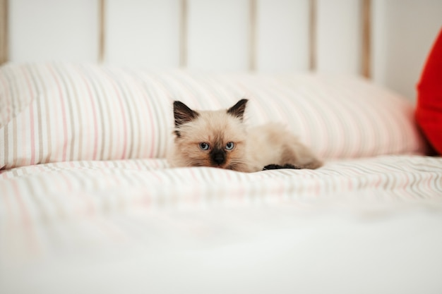 眠ろうとしてカメラを見ながら、白いベッドに黒い耳のかわいい白い子猫が寄り添います。