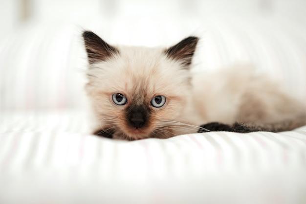 黒い耳を持つかわいい白い子猫は、眠ろうとしている間、白いベッドに寄り添います。カメラを見ている猫のペット