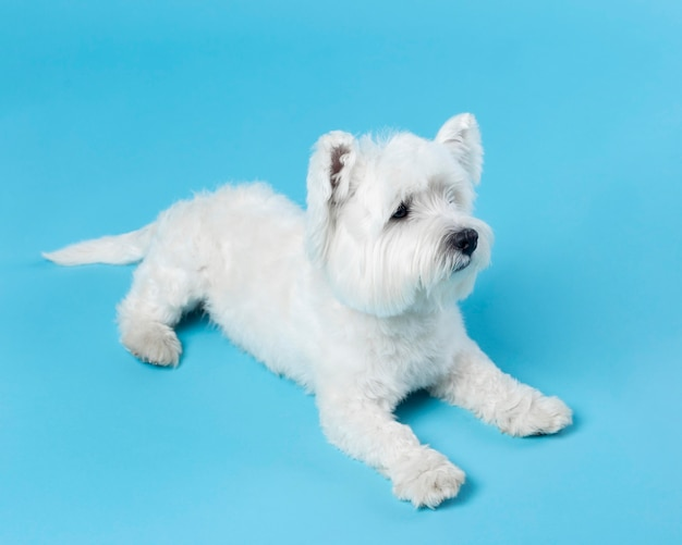 Cute white little puppy isolated on blue