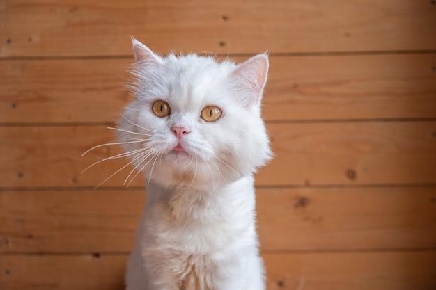 Cute white persian cat, taken at close up, licks the fur