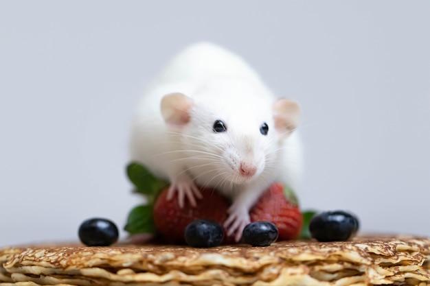 Милая белая крыса сидит на вкусных блинчиках с клубникой и черникой.
