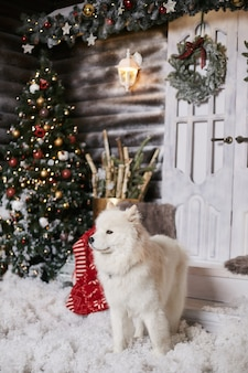 Cute white samoyed dog posing in living room near christmas tree and decorated for new year interior