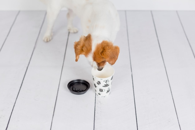 Cute white small dog looking for coffee in the mug. wake up and morning concept. pets indoors. white wall