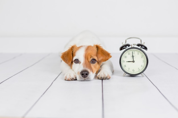 Cute white small dog lying on the floor . alarm clock with 9 am besides. wake up and morning concept. pets indoors