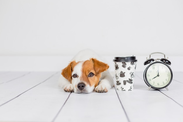 Cute white small dog lying on the floor . coffee and alarm clock with 8 am besides. wake up and morning concept. pets indoors