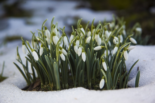 Cute white snowdrop flowers in a snowy ground-the start of a spring