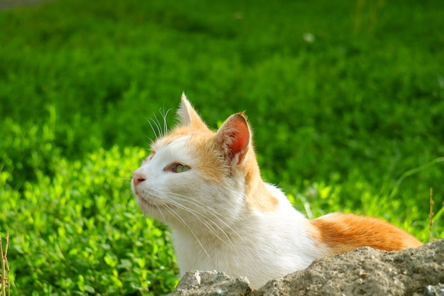 Cute white and yellow cat relaxing in vibrant green grass field