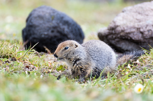 Cute wild gopher in the grass