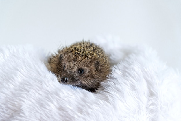 Cute wild hedgehog lying on a soft blanket on white