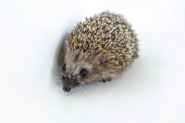 Cute wild hedgehog on white isolated background. protection and domestication of forest spiny