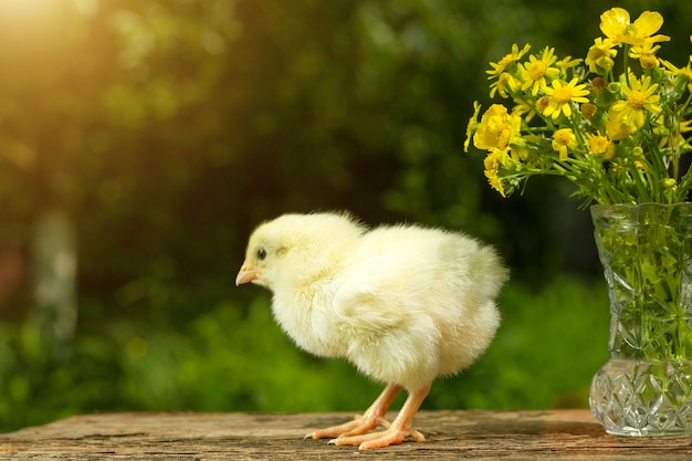 Cute yellow chick posing in funny on a natural green  , a bouquet of flowers spring sunny day
