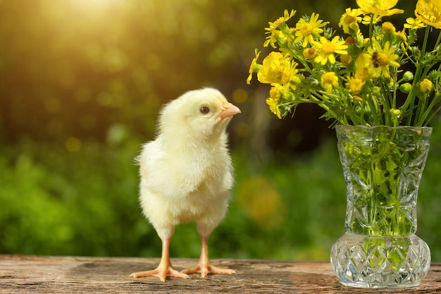 Cute yellow chick posing in funny on natural green , a bouquet of flowers spring sunny day