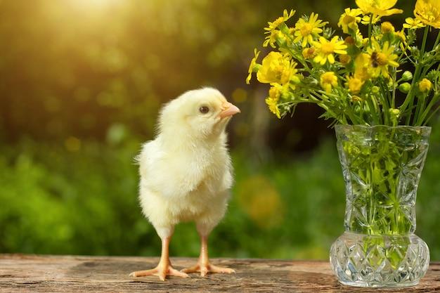 Симпатичная желтая цыпочка позирует в смешном на натуральном зеленом цвете, букет цветов весенний солнечный день
