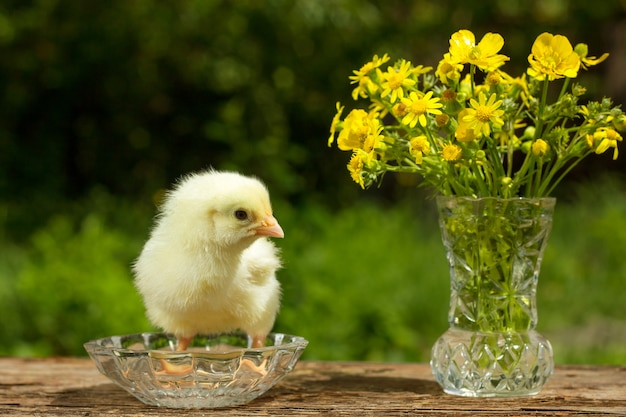 Cute yellow chick posing with a bouquet of flowers spring sunny day