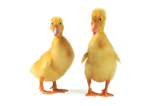 Cute yellow ducklings standing on white background