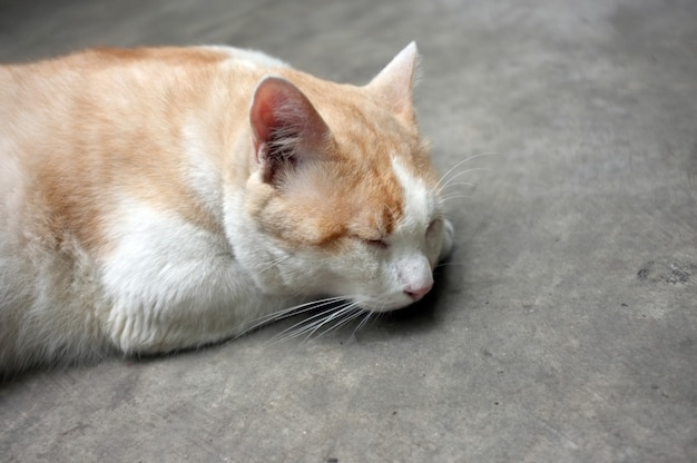 Cute yellow thai cat, lazy cat