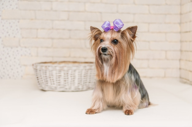 Cute yorkshire terrier after grooming on white brick wall background