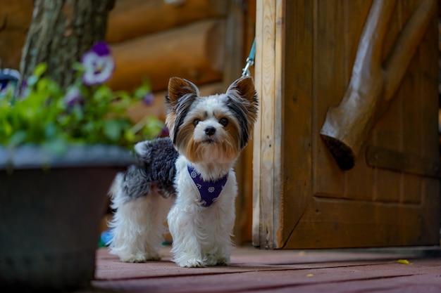 Милая собака йоркширского терьера стоит на поводке у двери в загородном доме