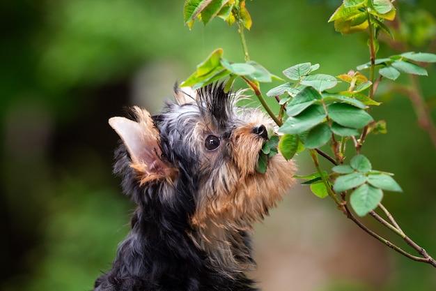 自然の背景にかわいいヨークシャーテリアの子犬