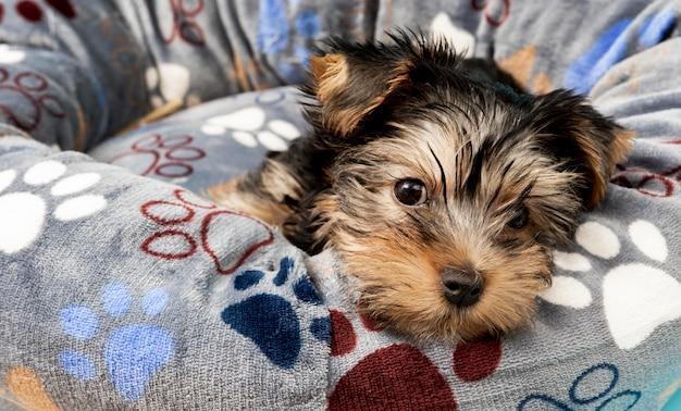 彼のベッドでリラックスしたかわいいヨークシャーテリアの子犬