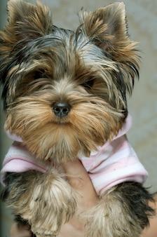 Милый щенок йоркширского терьера ..