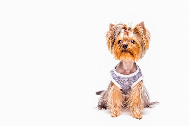 Cute yorkshire wearing cloth over white background