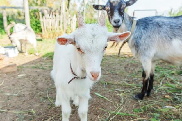 夏の日の牧場でリラックスしたかわいい若い赤ちゃんヤギ。国内のヤギが牧草地で放牧し、噛んで、田舎の壁。牛乳とチーズを与えるために育つ自然のエコ農場のヤギ。