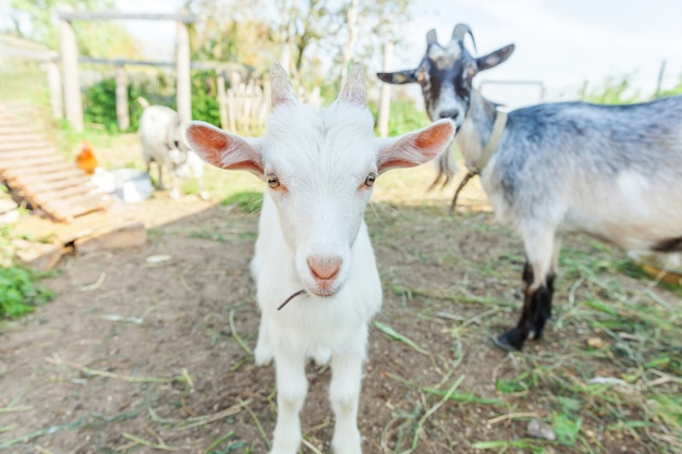 Cute young baby goat relaxing in ranch farm in summer day. domestic goats grazing in pasture and chewing, countryside background. goat in natural eco farm growing to give milk and cheese.