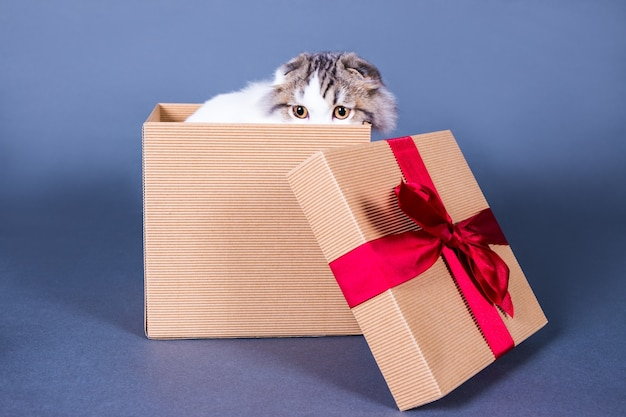 Cute young british cat hiding in gift box over grey background