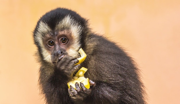 Cute young capuchin monkey eating a yellow fruit and looking to the side