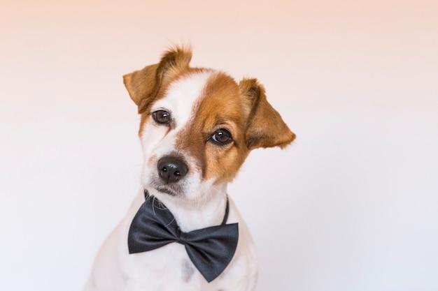 Милая молодая собака над белой предпосылкой нося bowtie и смотря камеру. домашние животные в помещении. любовь к животным концепции.