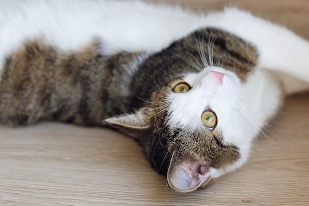 Симпатичный молодой домашний биколор полосатый и белый кот отдыхает на полке после игры, выглядя сонным, скучающим или усталым.