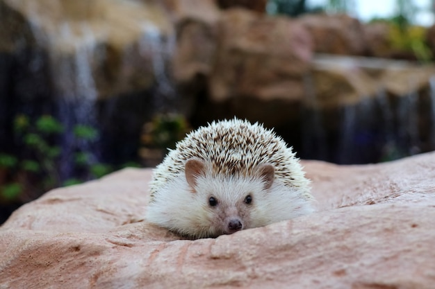 Cute young hedgehog on the rock with water fall background. soft focus. animal and nature concept.